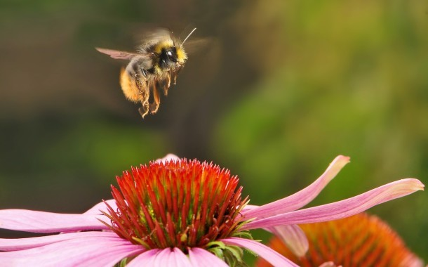 Native Seeds for Native Bees
