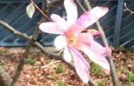 Our Star Magnolia and other Views from the Third Floor