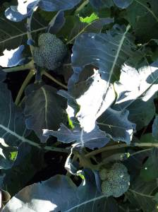 Growing Broccoli Locally