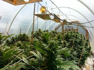 Marijuana Green house