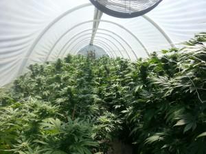 Marijuana Growing in Green House