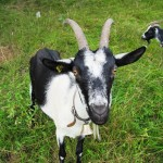 Goats in grass field