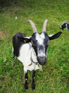 Goats in grass field