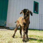 Baby San Clemente Island goat at Unity College