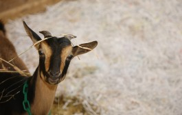 Words of Advice – Baby Goats!