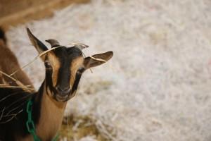 Baby San Clemente Island goat