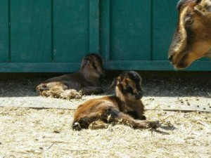 Baby San Clemente Island goats.