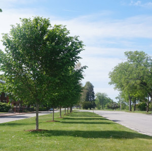 Trees along the Western Prom.