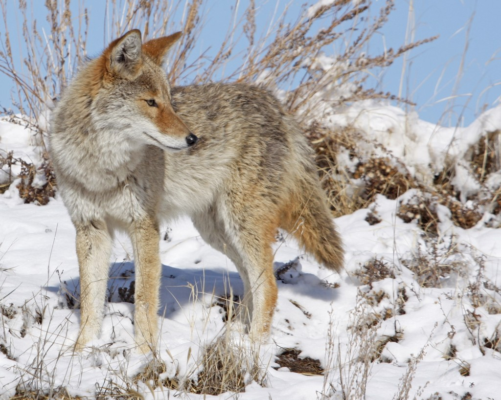 Coyote in snowy field.