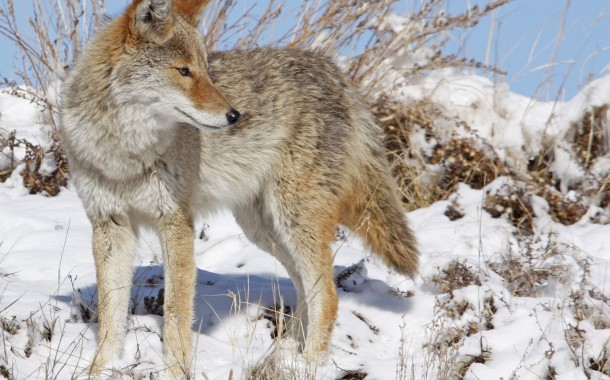 Newsy Musings: Coyotes in the City