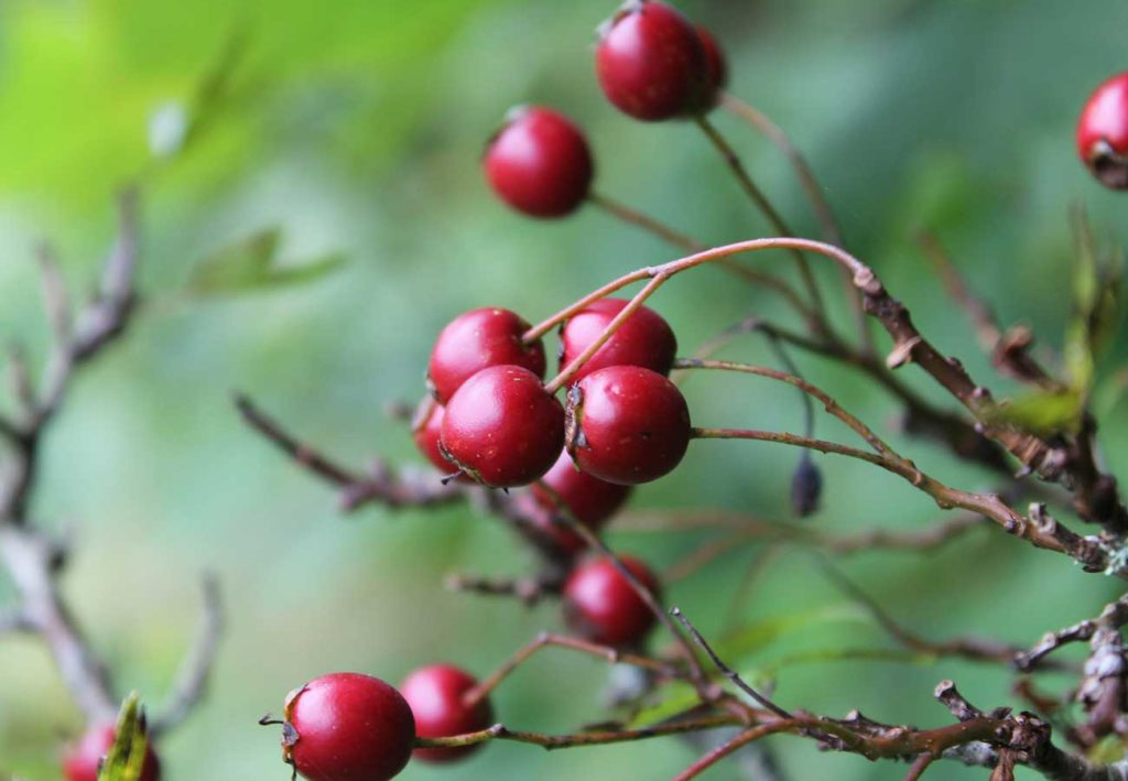 West End News: Healing Plants of Maine: Hawthorn berries