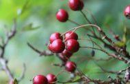 Healing Plants of Maine