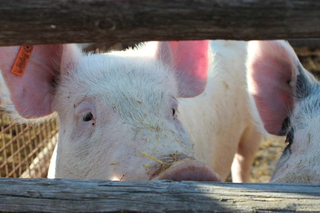 West End News - 4-H Swiners - Pig at farm