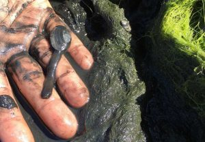 West End News - Algae blooms - dead clam close-up