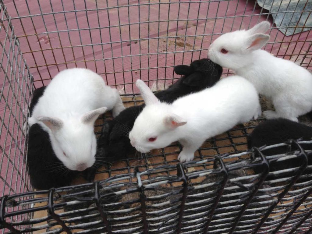 West End News - Animal Production - Bunnies
