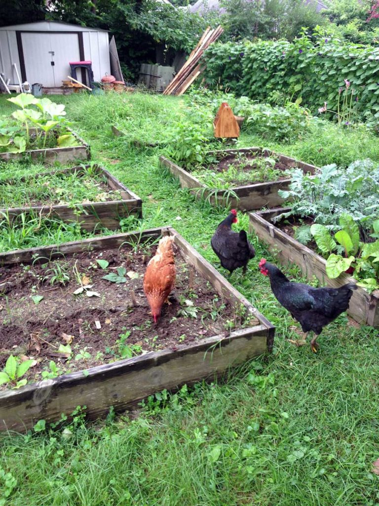West End News - Animal Production - Chickens at the Amos Farm