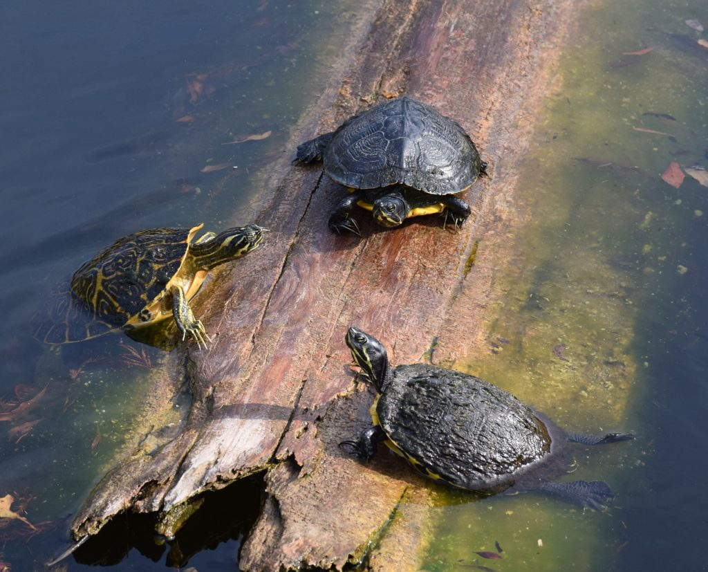 West End News - Spotted Turtle