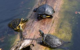 Students Help the Spotted Turtle