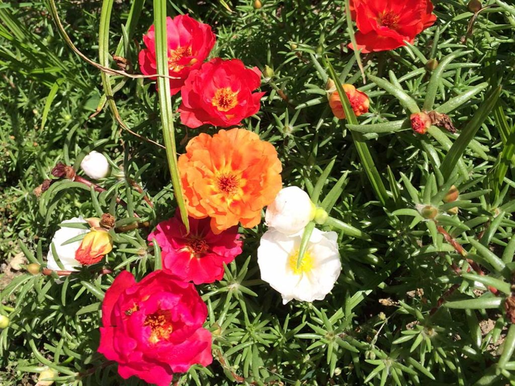 West End News - Accidental Gardener - Portulaca