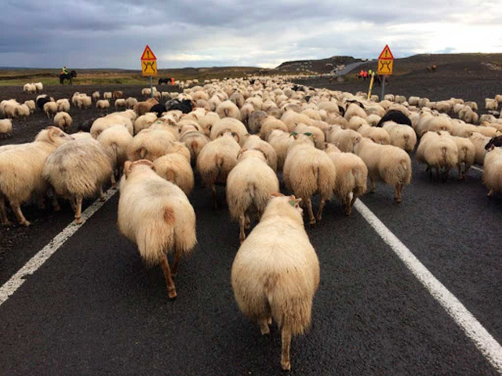 West End News - Sheep blocking road in Iceland