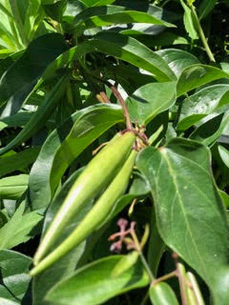 West End News - Invasive Plants - Black swallow wort pods. -Photo courtesy of Pamela Shaw