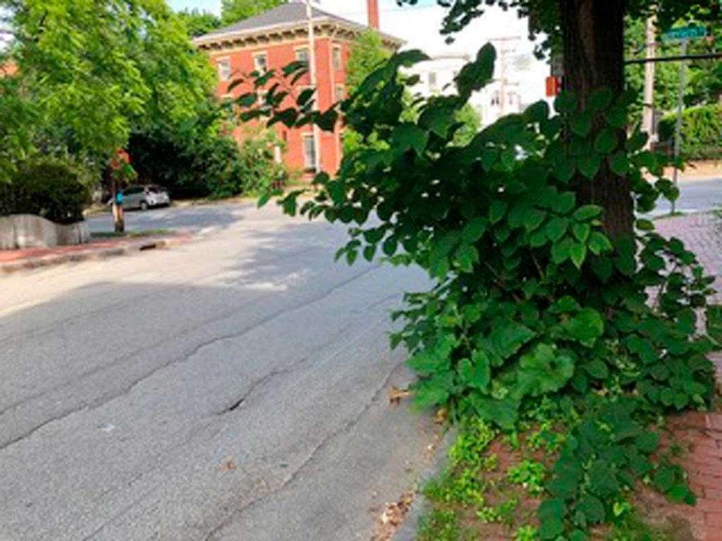 West End News - Invasive Plants - Knotweed growing on Winter St. -Photo by Kent Redford