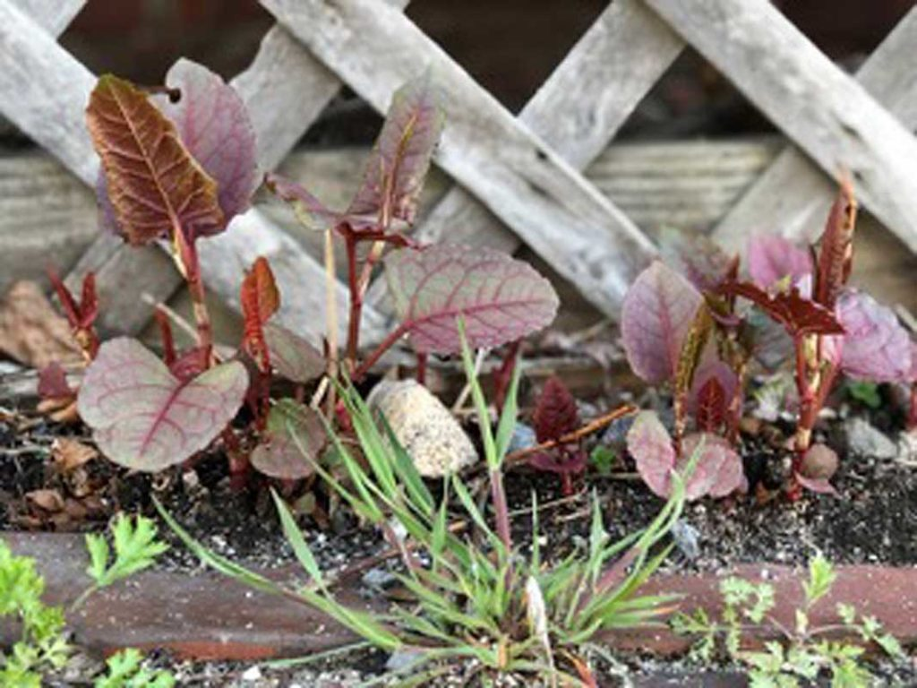 West End News - Invasive Plants - Knotweed sprouts - By Kent Redford