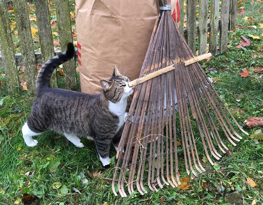 West End News - Leaf collection - Shiloh the cat with rake and bag of leaves