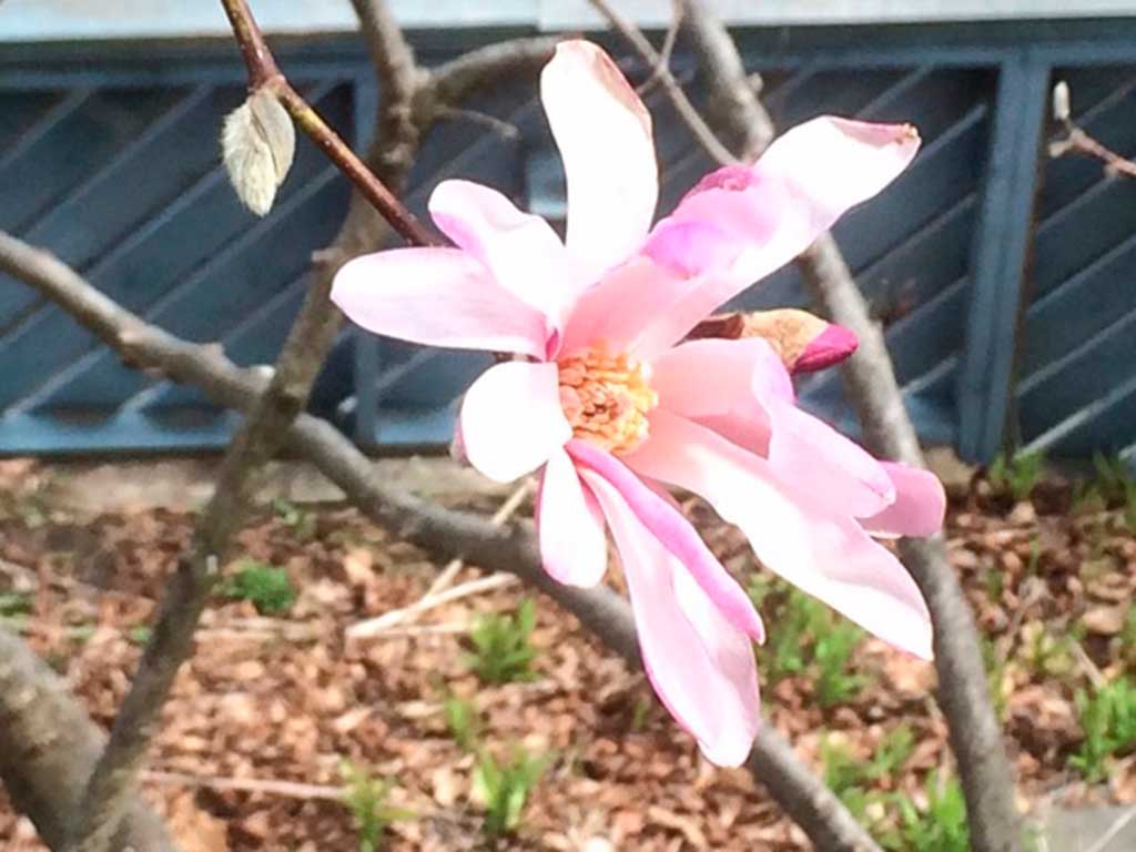 West End News - Star magnolia blossom in Rosanne's yard