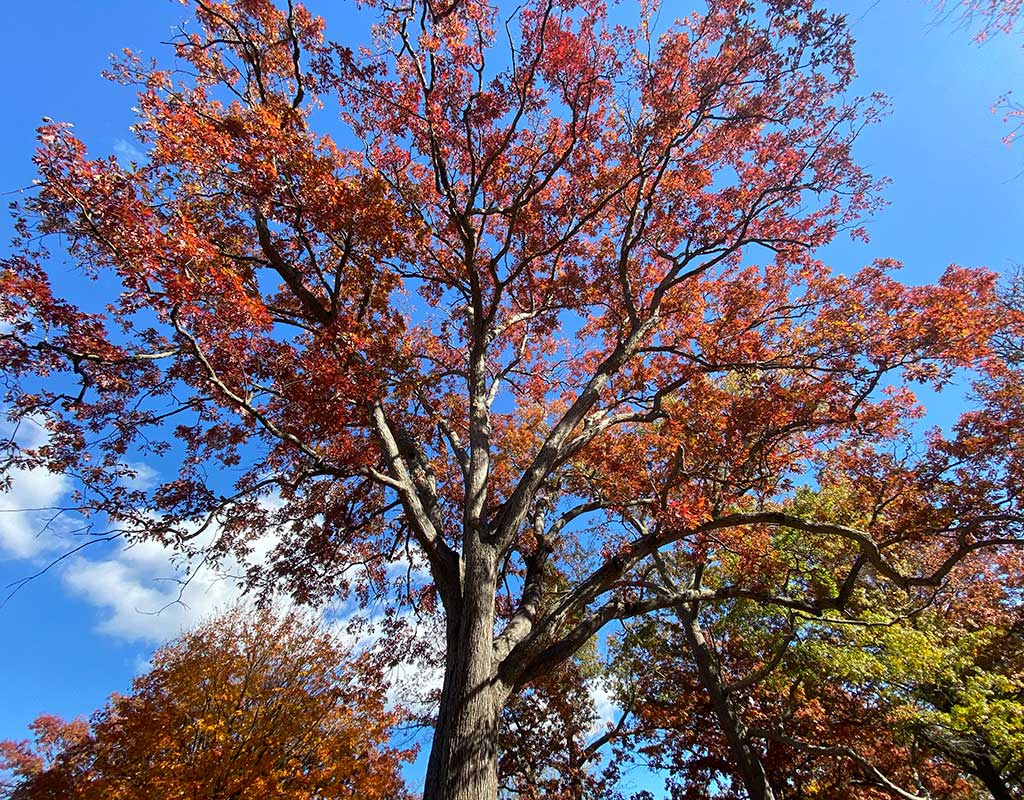 West End News - Urban Big Trees - Big Oak tree in Deering Oaks Park